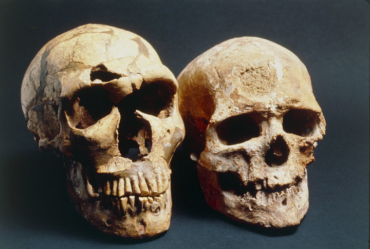 Neanderthal and modern human skull