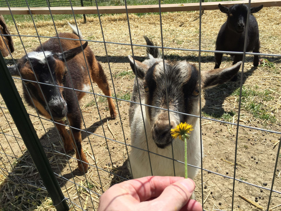 No, I'm not above showing you a picture of how cute my goats are just because I can. Credit: Phil Plait