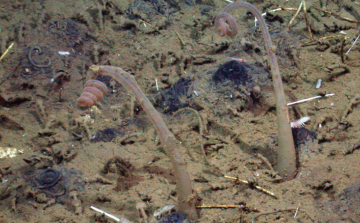 zombie worm named after Jabba the Hutt