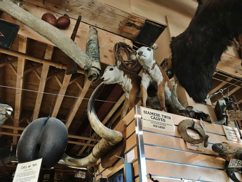 Seattle's Ye Olde Curiosity Shop Siamese Twin Calves