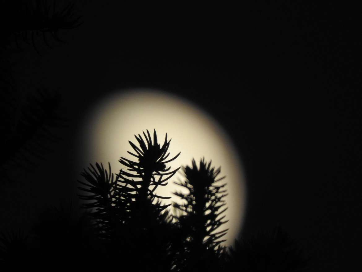 The gibbous Moon rises behind a spruce tree. Credit: Phil Plait