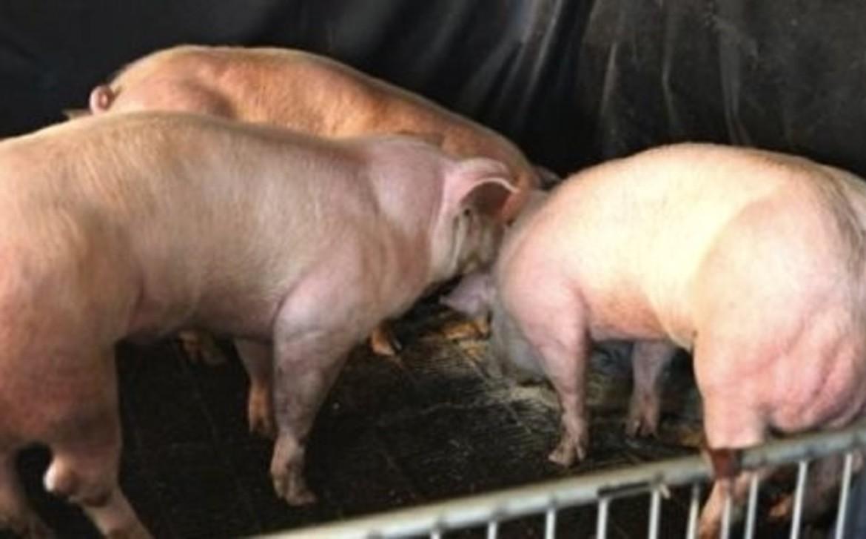 muscle_pigs.jpg