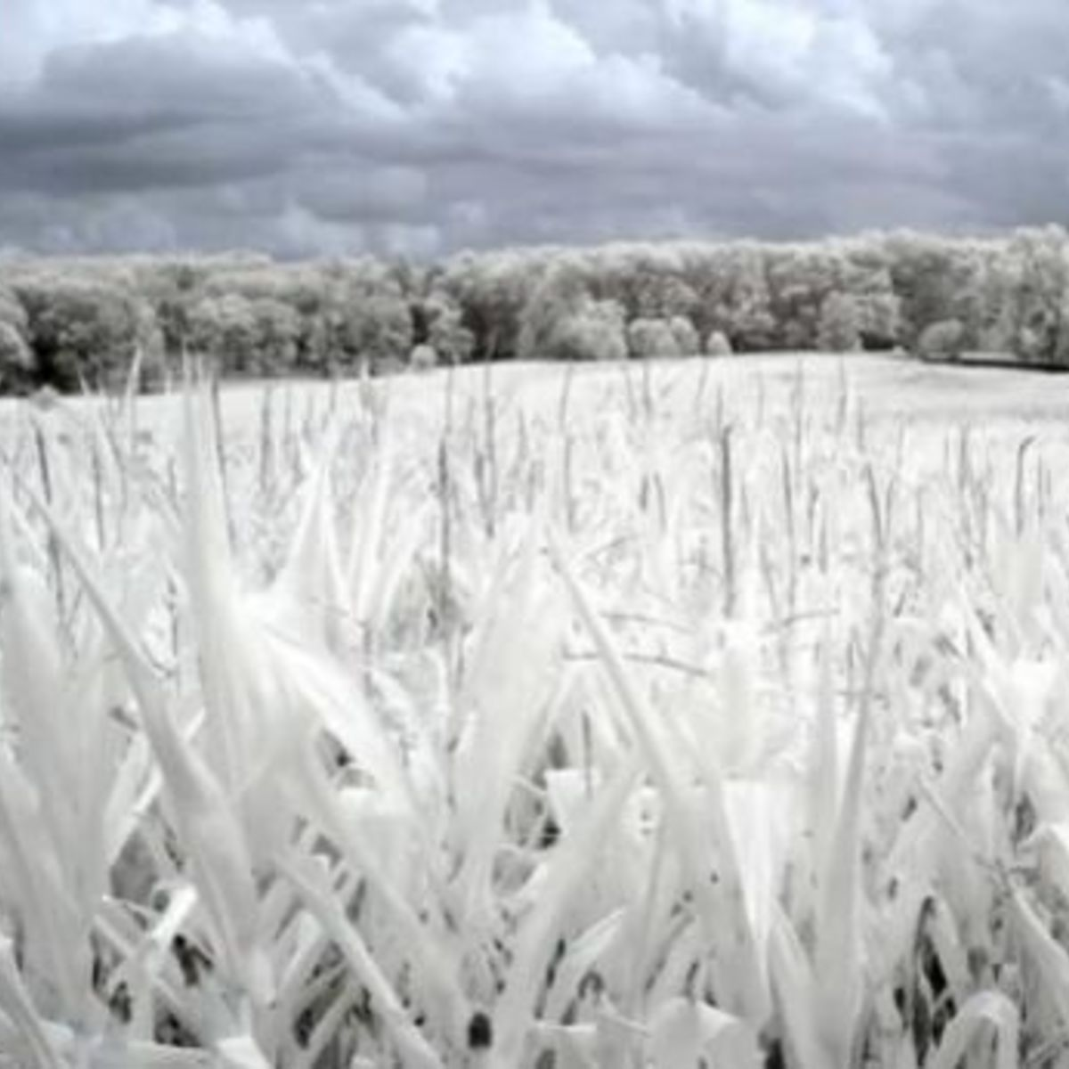 ir_cornstalks_hurtleff1341900348.jpg.CROP.rectangle-large.jpg