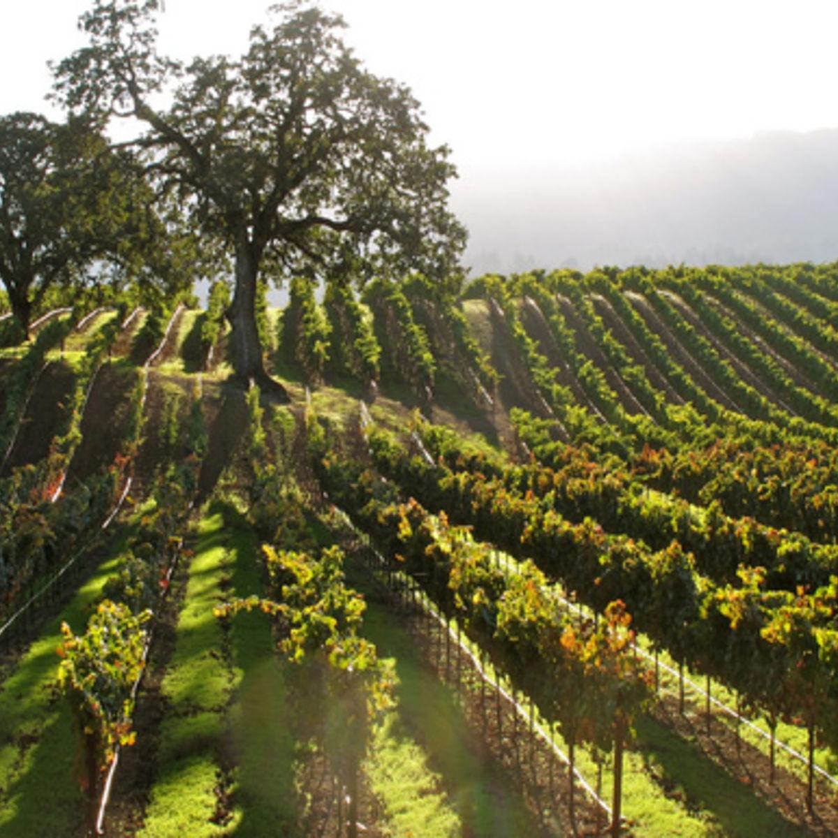 vineyard_oak_torbakhopper_0.jpg