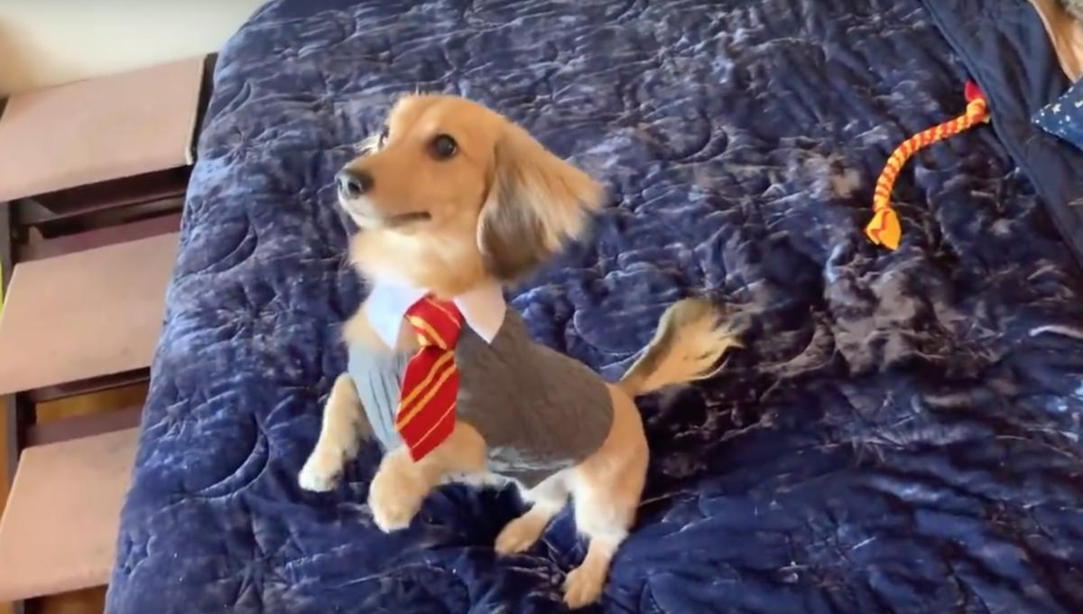 Someone trained a dog to obey Harry Potter spell commands, and it's truly magical