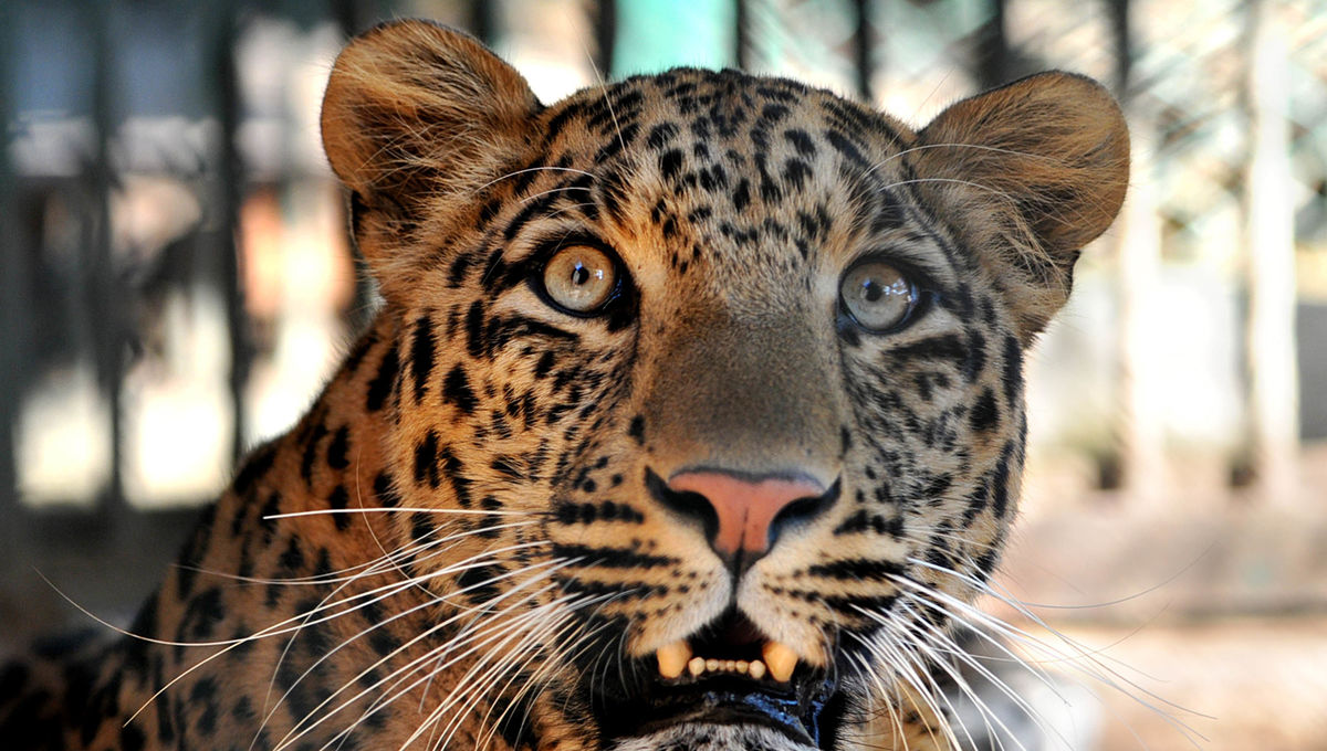 A Taiwanese leopard, considered to be extinct for over 30 years, has been spotted