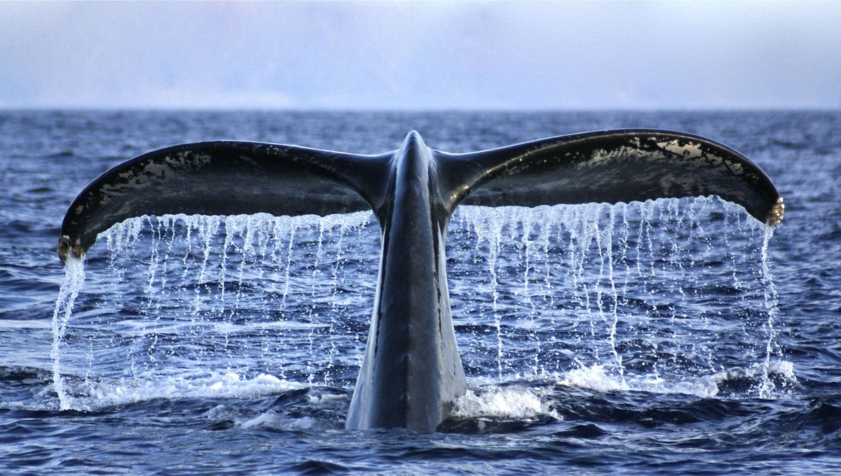 A whale tail fluke breaks the ocean surface
