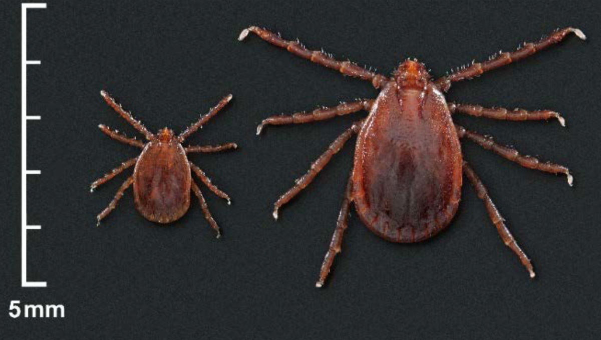 Arachnid attack of the clones? Invasive ticks reproduce without