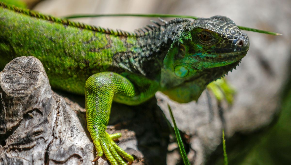 The end is nigh! National Weather Service warns of raining lizards as temps drop across U.S.