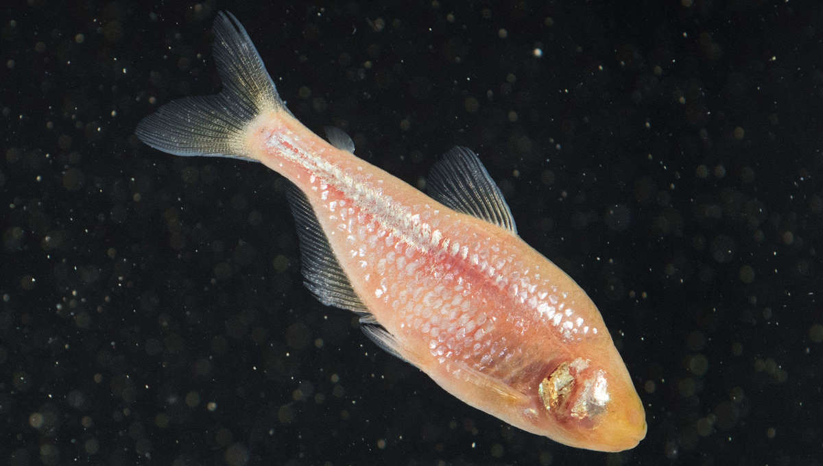 Creepy eyeless fish have bizarre genes that could someday reverse an incurable human disease