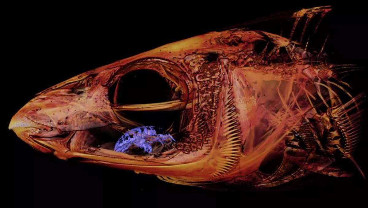 This bizarre vampire parasite becomes a living tongue inside fish heads