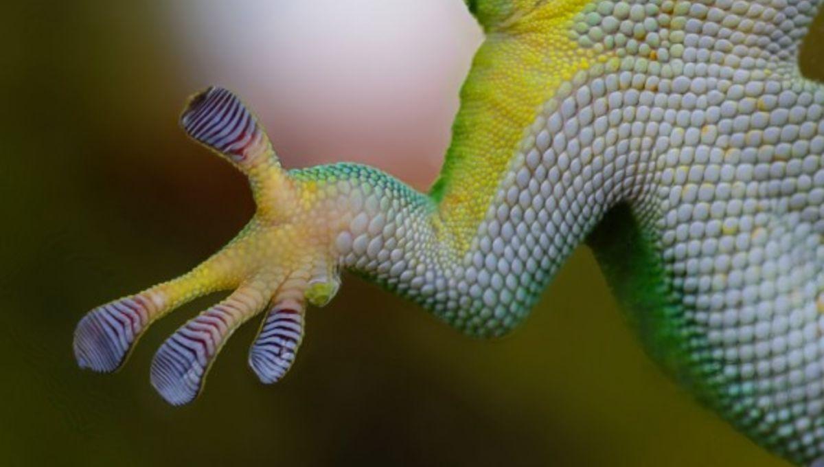 gecko-foot.jpg