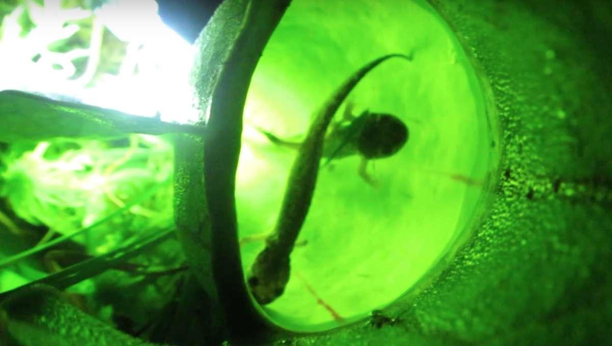 Pitcher plant eating salamanders
