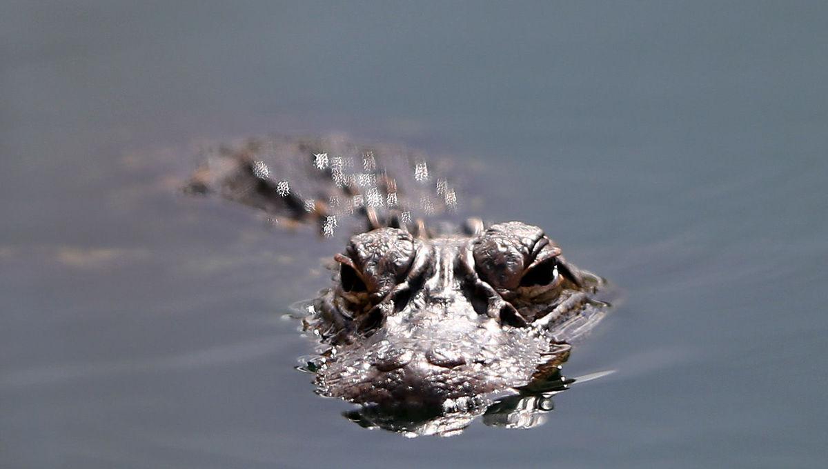 alligator