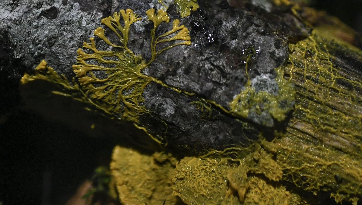 The Blob aka Physarum Polycephalum slime mold