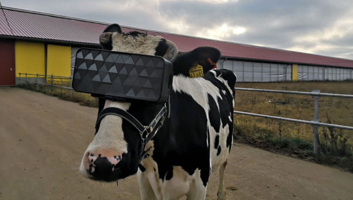 cow wearing VR headset
