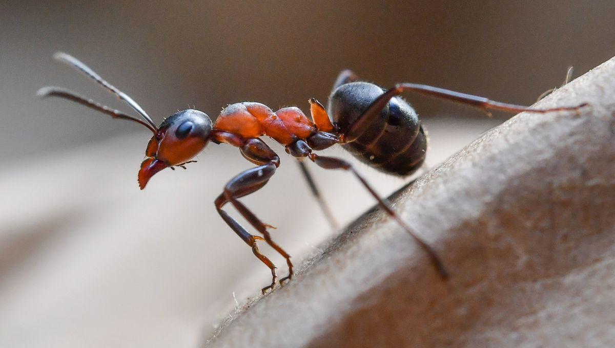 A European Wood Ant