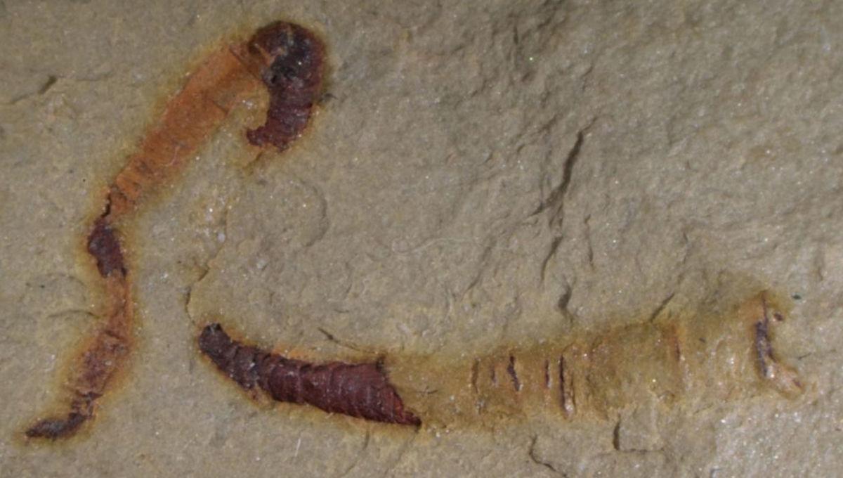 cloudinomorph fossil