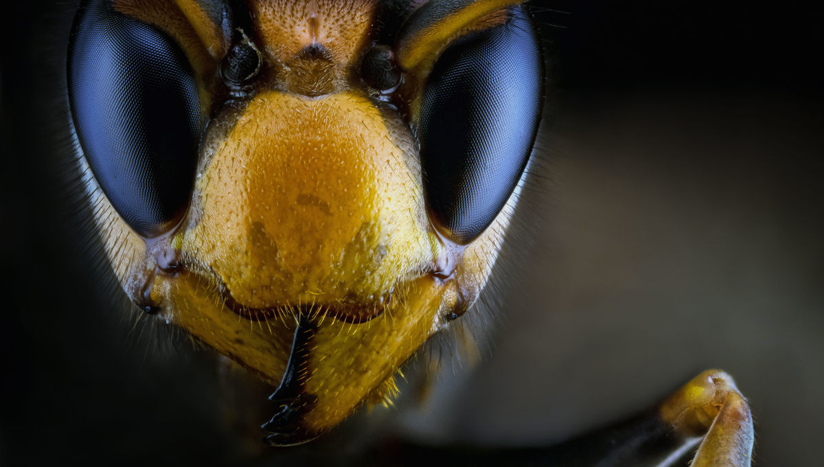 U.S. bracing for invasion of monster hornets