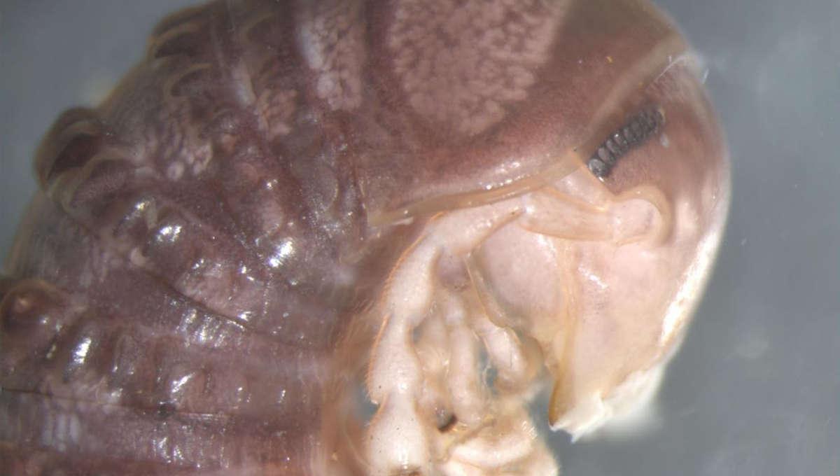 American millipede