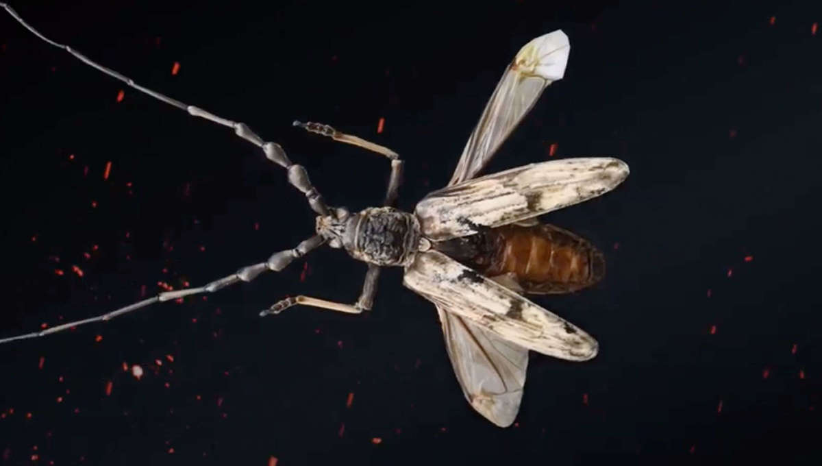 longicorn beetle N. Gigas