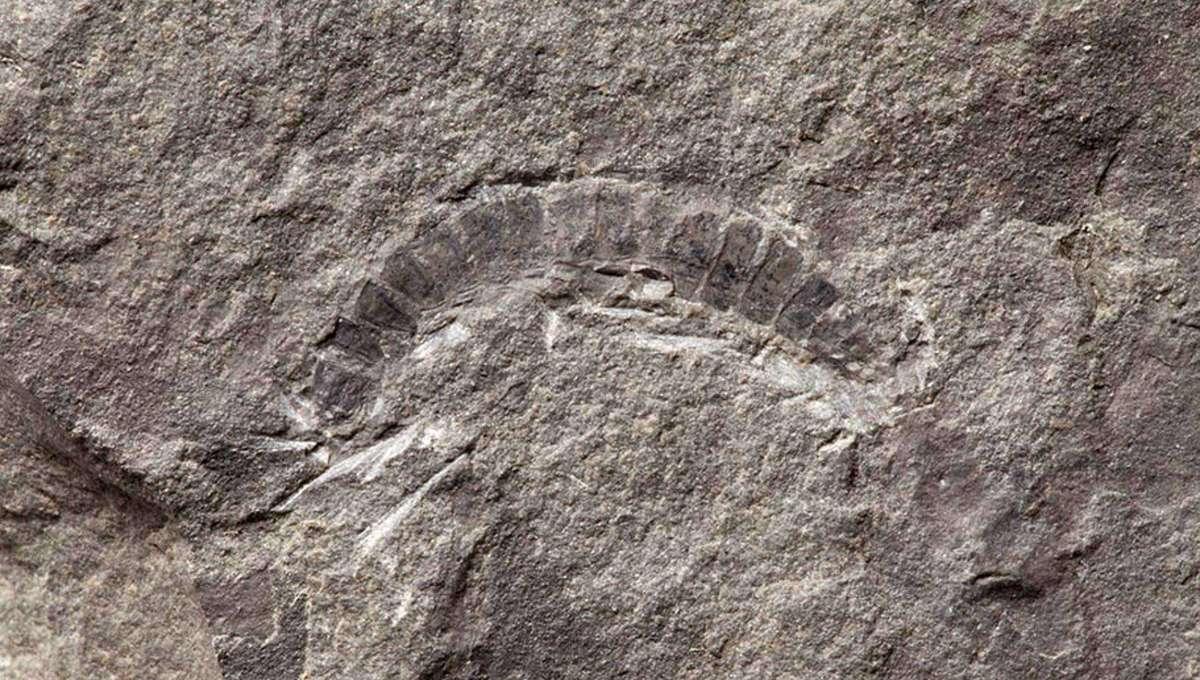 bug fossil