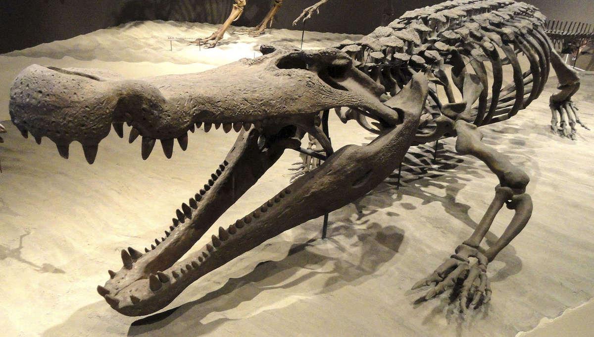 Deinosuchus skeleton