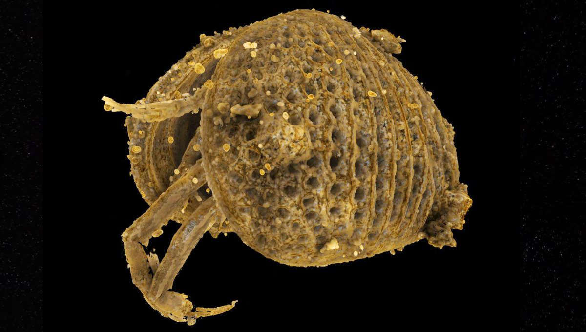 fossilized ostracod