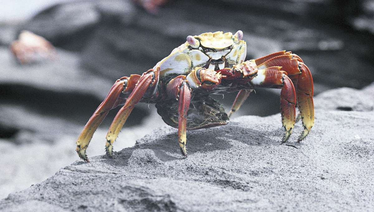 A rock crab in the Galapagos Islands