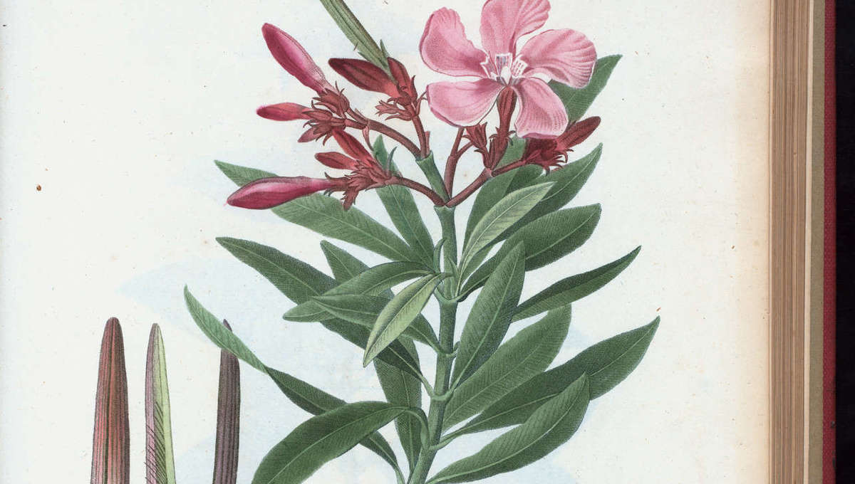 NYPL Digital Collections Oleander flower