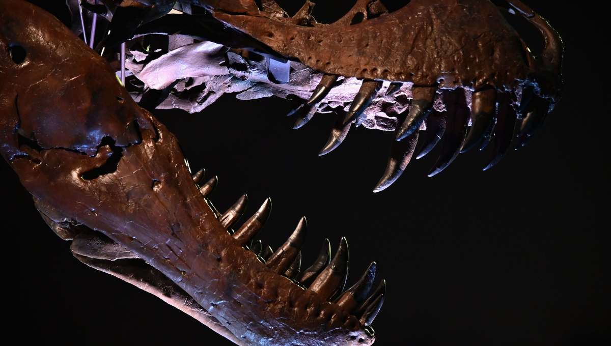 Skull view of Tyrannosaurus rex sold at 2020 Christies auction