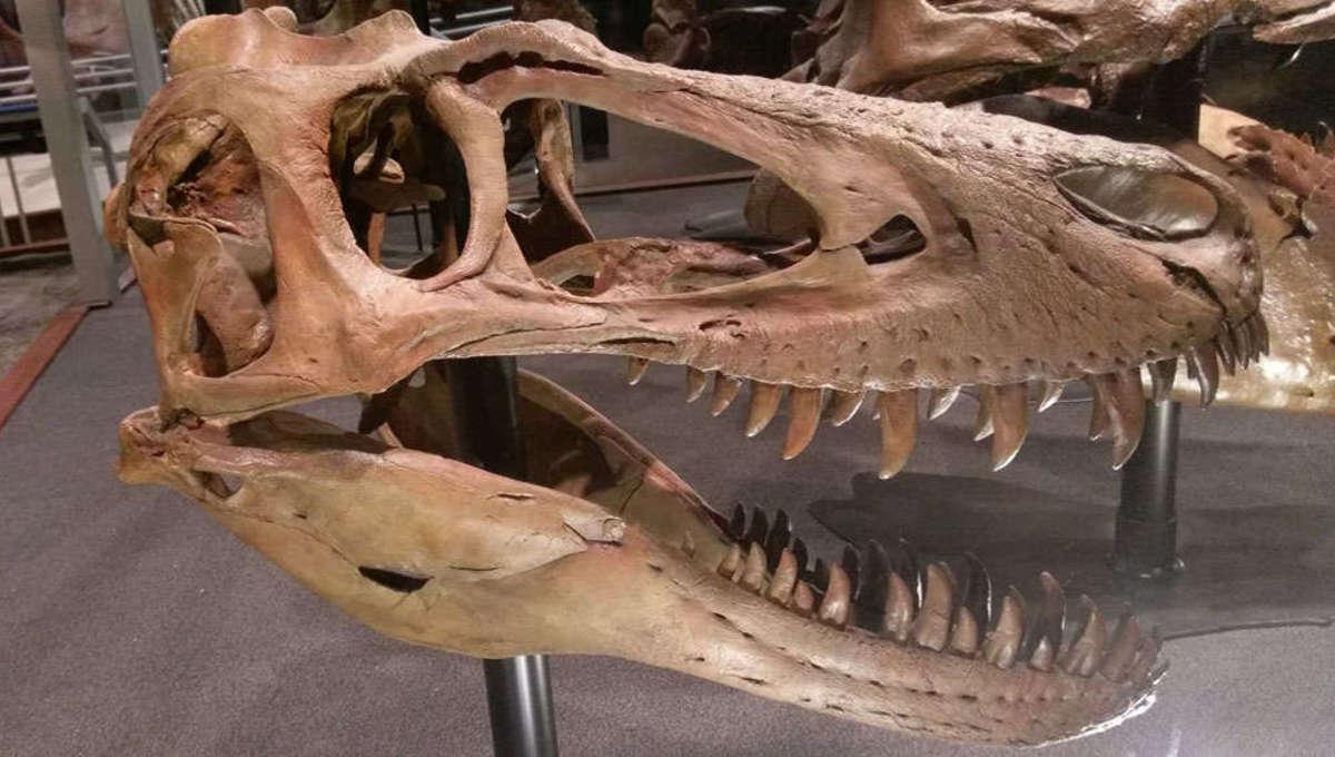 juvenile T-rex skull