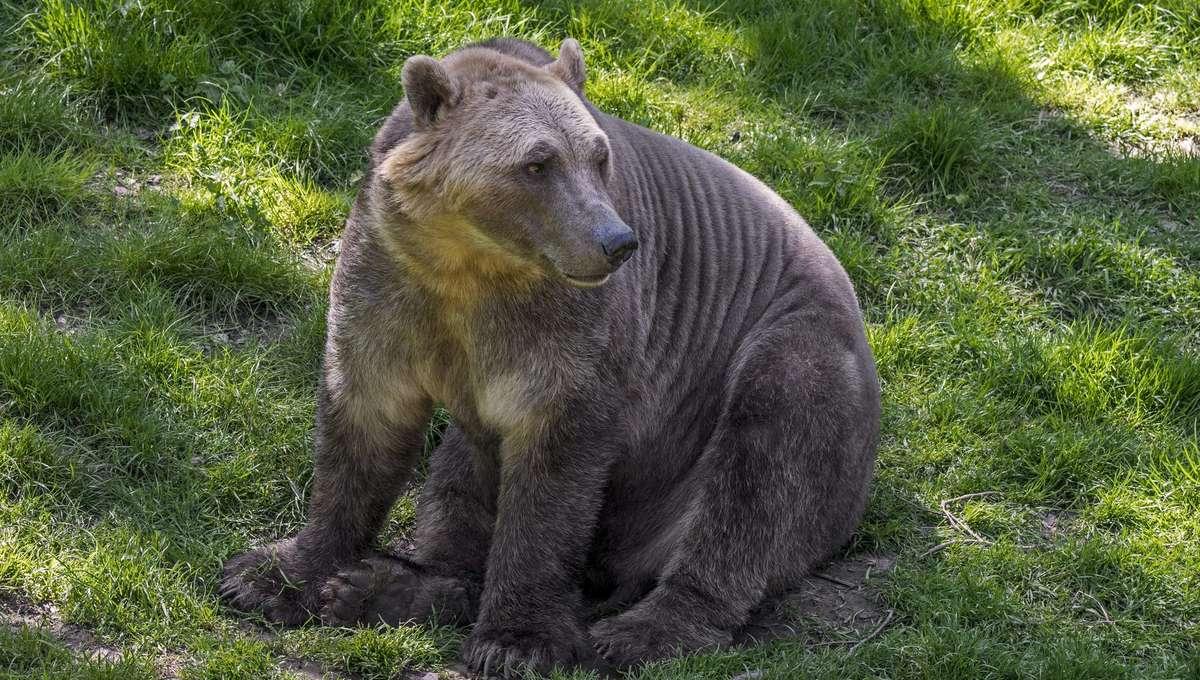 grolar or pizzly bear