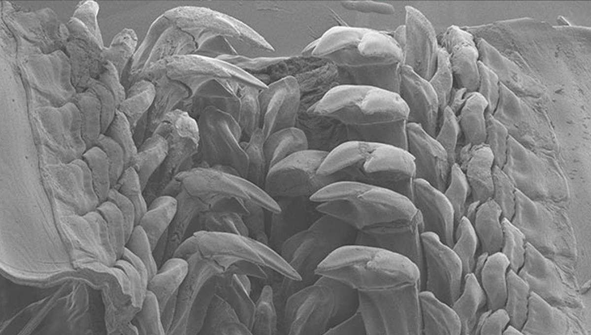iron teeth of Cryptochiton stelleri