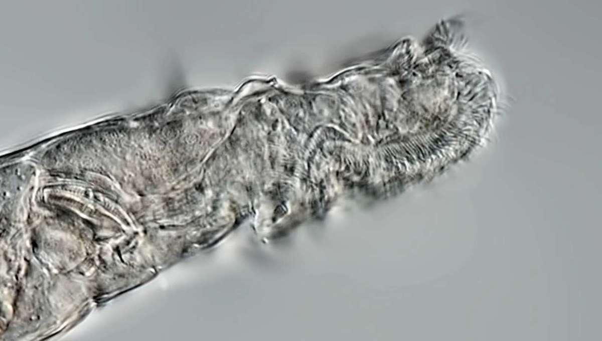 rotifer 1