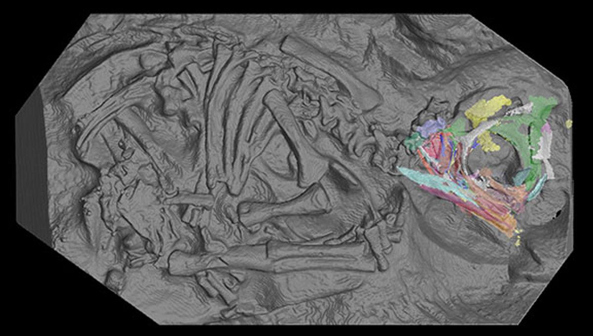 Massospondylus fossil