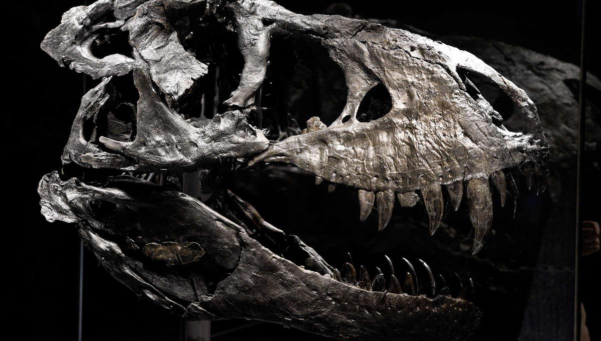 Liz tyrannosaurus skull