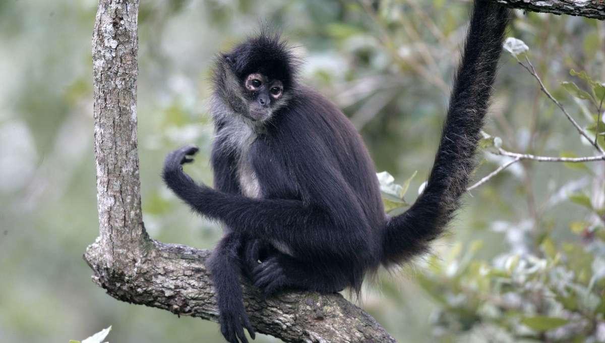 Liz Spider Monkey