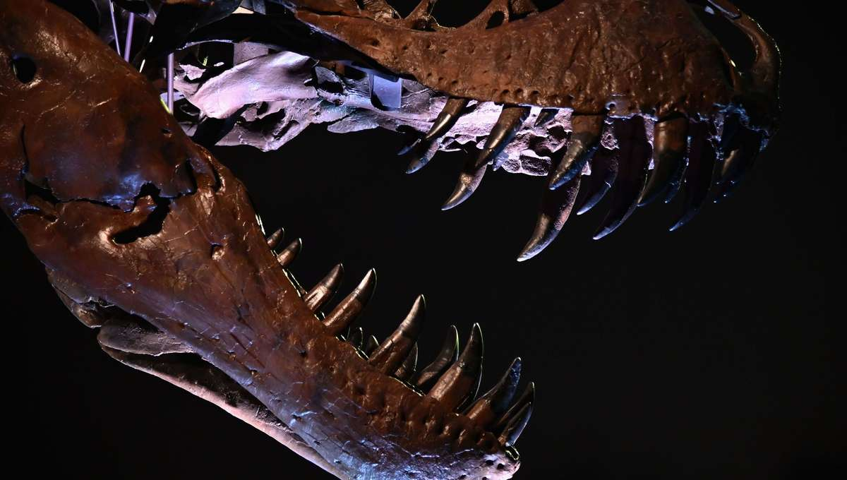Liz Tyrannosaurus rex