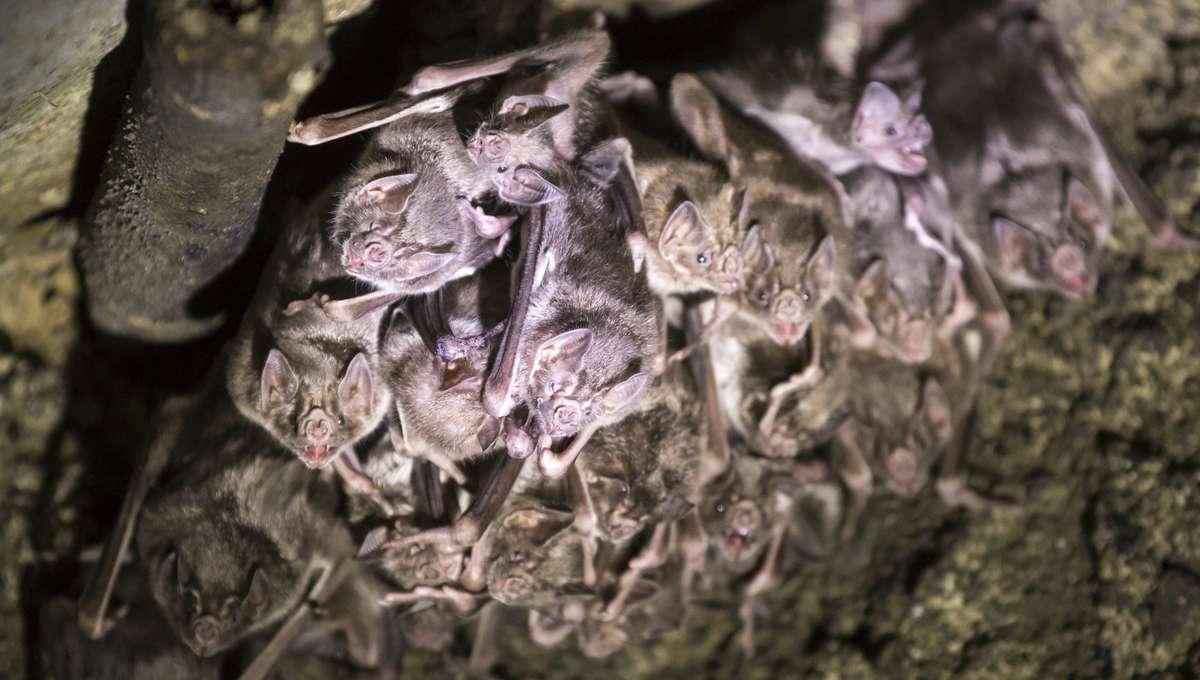 Multiple Vampire Bats