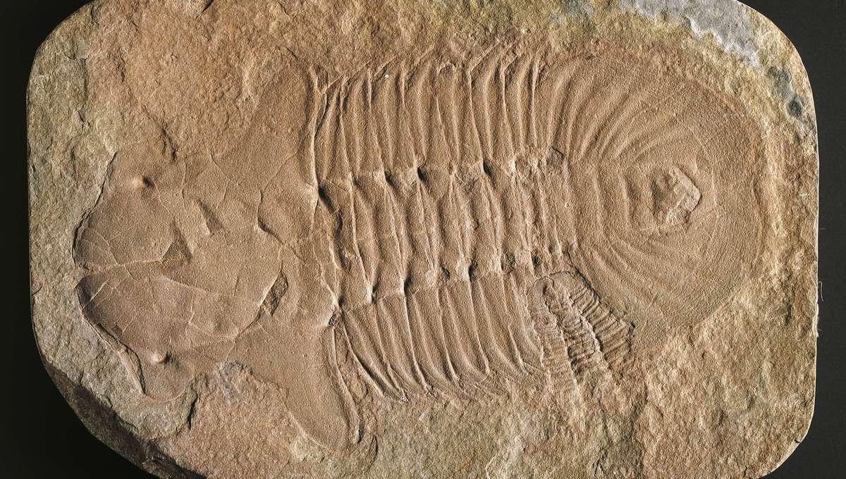 Hemirhodon amplipyge trilobite fossil