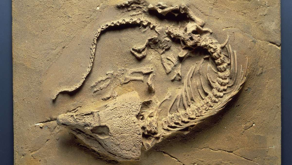 Labidosaurus hamatus fossil