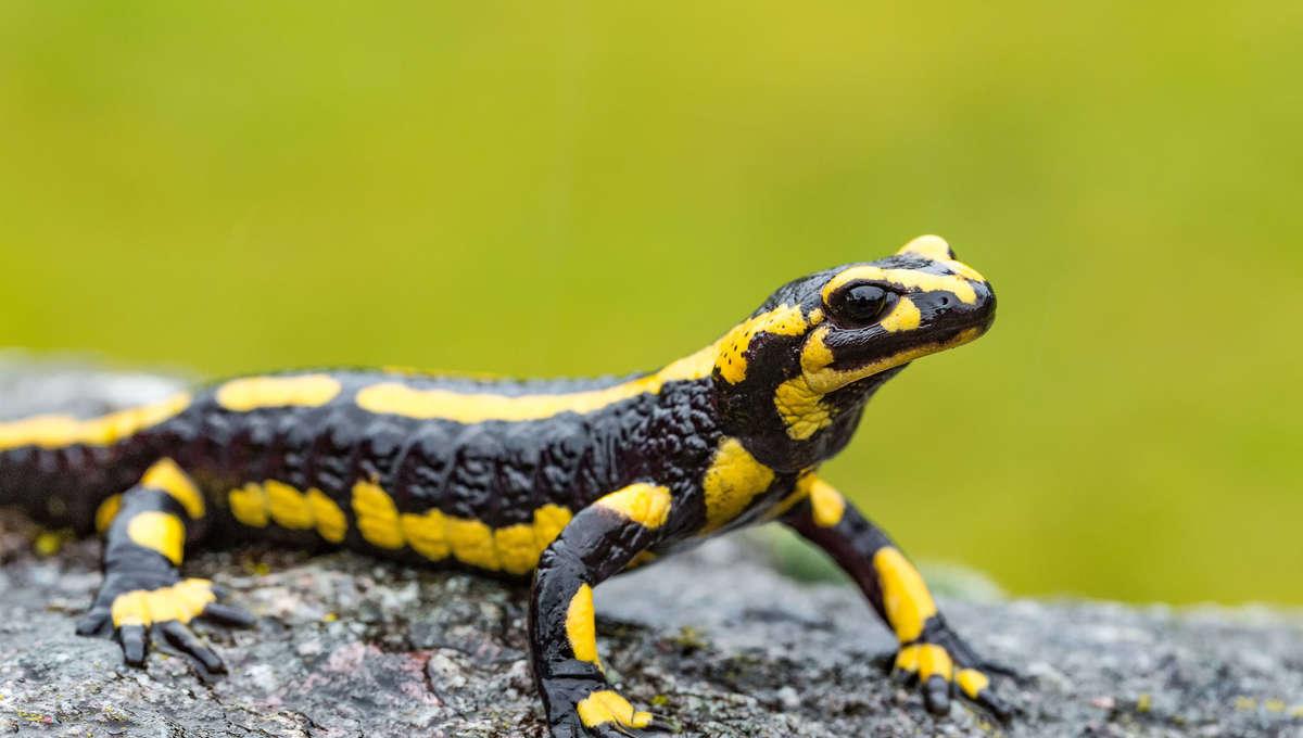 Liz Salamander