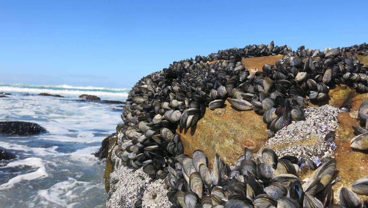 Molluscs on Rock