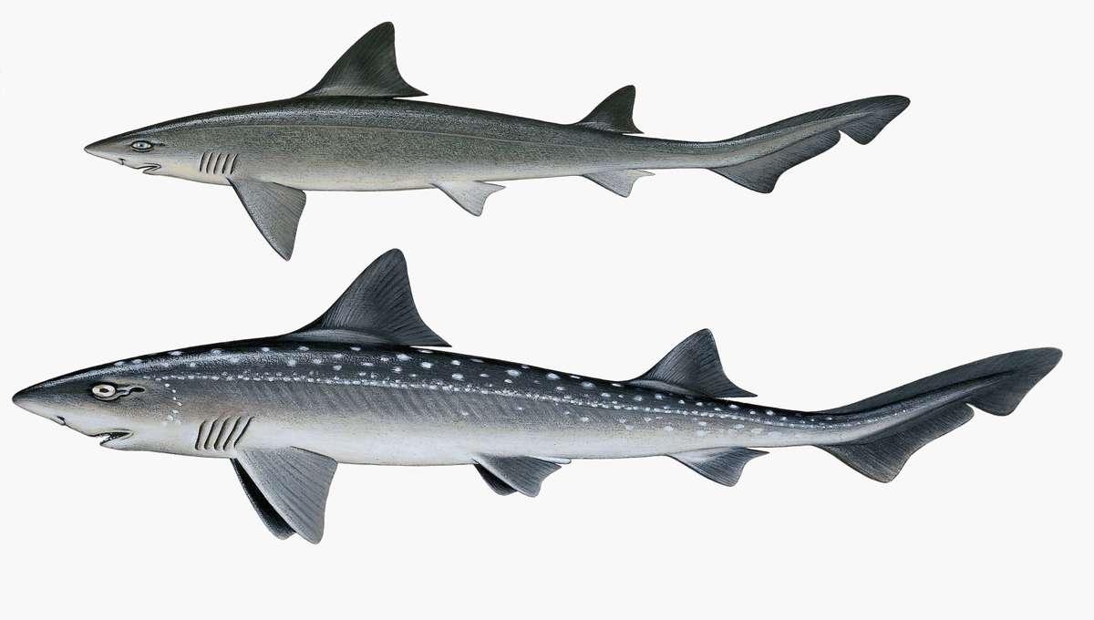 smoothhound shark.