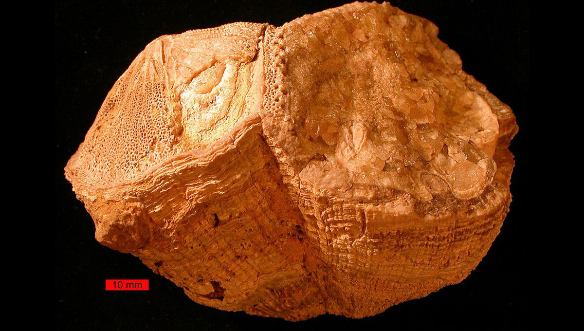 An example of a fossilized rudist bivalve from the Cretaceous Period.  Credit: Wikipedia, Wilson44691