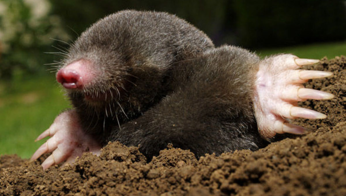 Happy Mole Day! If he sees his shadow, we'll have 600 sextillion more days of spring. Credit: Shutterstock/Grimplet