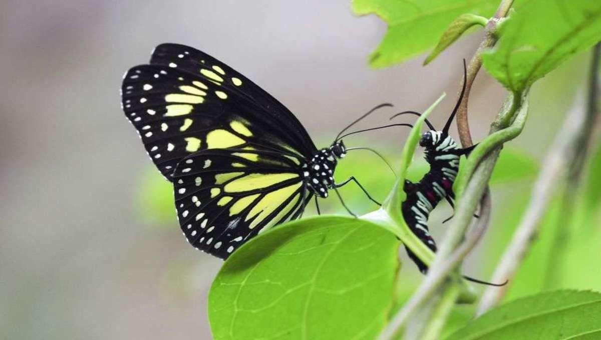 Liz Butterfly