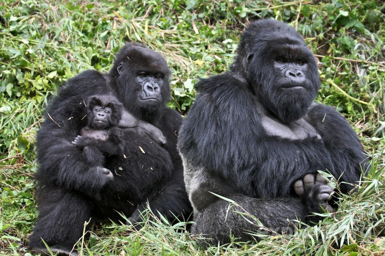 22_Gorillas_Sing.jpg