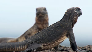 iguana_vs_snakes-1.jpg